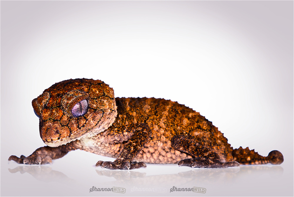 Rough Knobtail Gecko (Nephrurus asper) is the smallest of the rough knob-tailed species.  They are endemic to the Australian state of Queensland and generally live in open wooded areas of rocky ranges and outcrops.