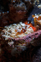 Tiny Squat (less than 2cm in length) Anemone Shrimp <br /> <br /> Shot in Indonesia
