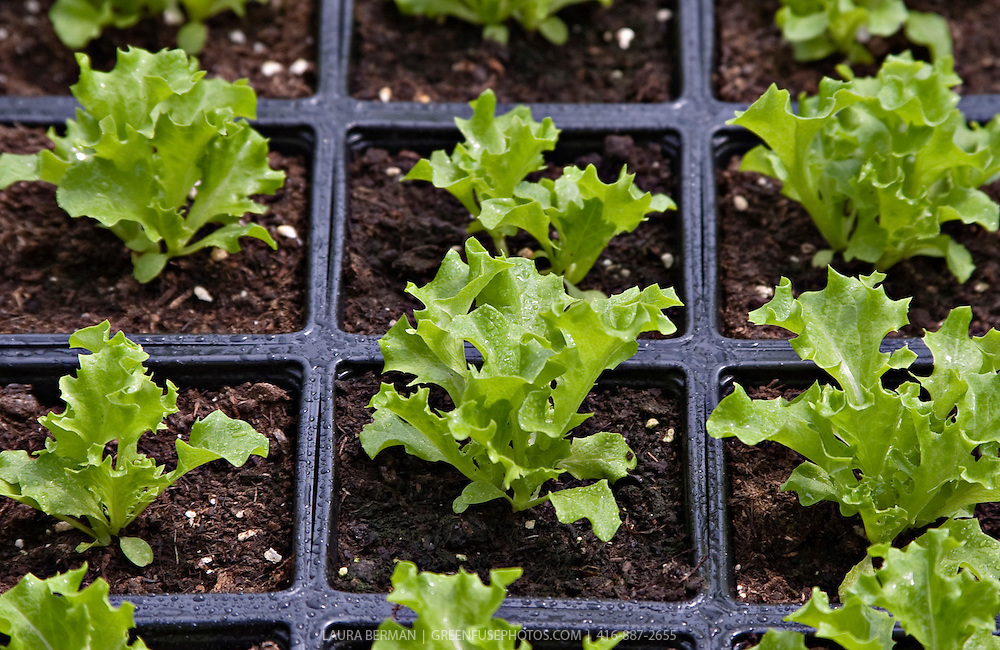 Stock photo of green leaf lettuce seedlings.