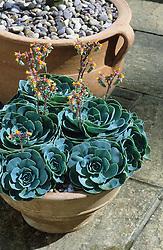 Succulent - Echeveria  in a terracotta container