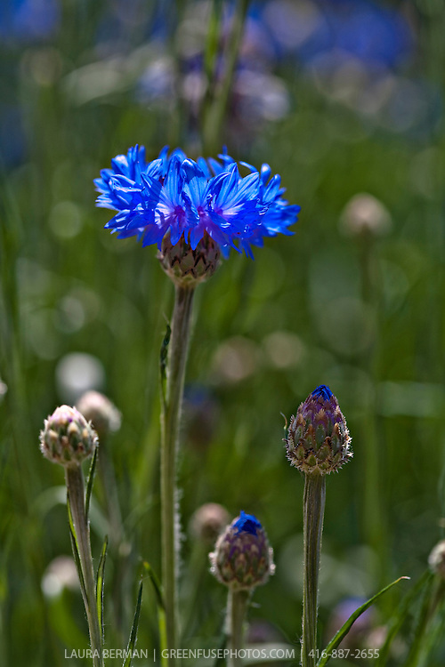 Bright blue cornflowers, also known as Bachelor's Buttons (Centaurea cyanus).