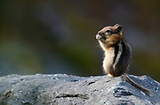 Golden-mantled ground squirrel in a talus slope above Lake Geneva in the Mount Robinson Roadless Area in summer. Kootenai National Forest in the Purcell Mountains, northwest Montana.