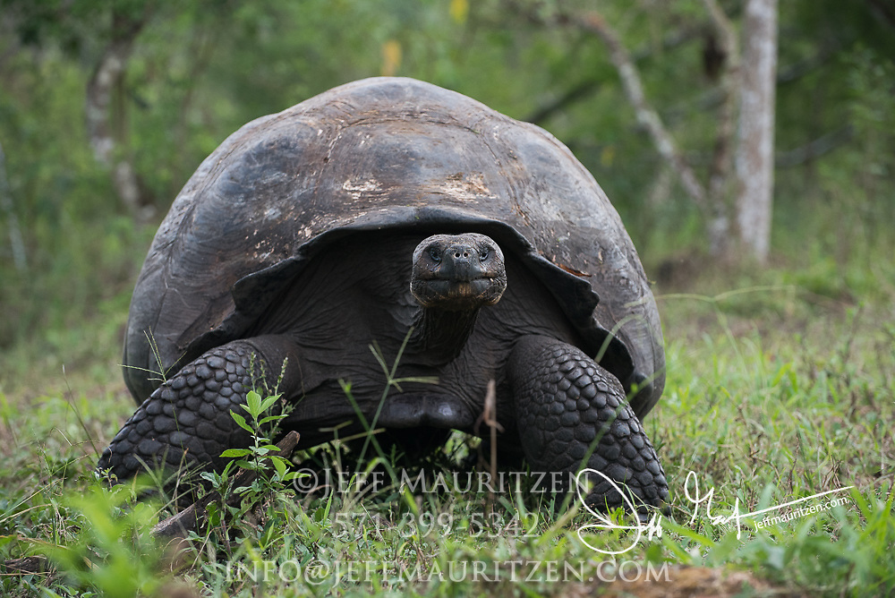 A Galapagos Giant tortoise walks through the highlands of Santa Cruz island.