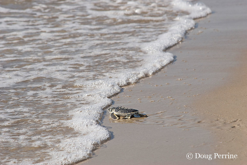 Australian flatback sea turtle hatchling, Natator depressus , enters ocean for the first time, Crab Island, off Cape York Peninsula, Torres Strait, Queensland, Australia