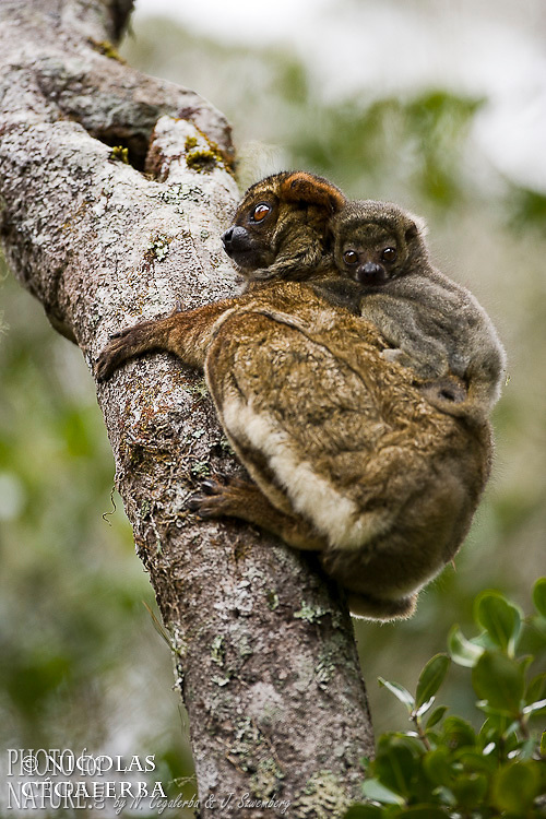 Avahi laineux, Avahi laniger, Corridor forestier d'Anjozorobe, Madagascar
