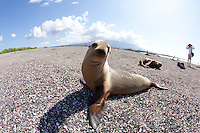 Galapagos sea lion on beach in the Galapagos Islands, Ecuador.