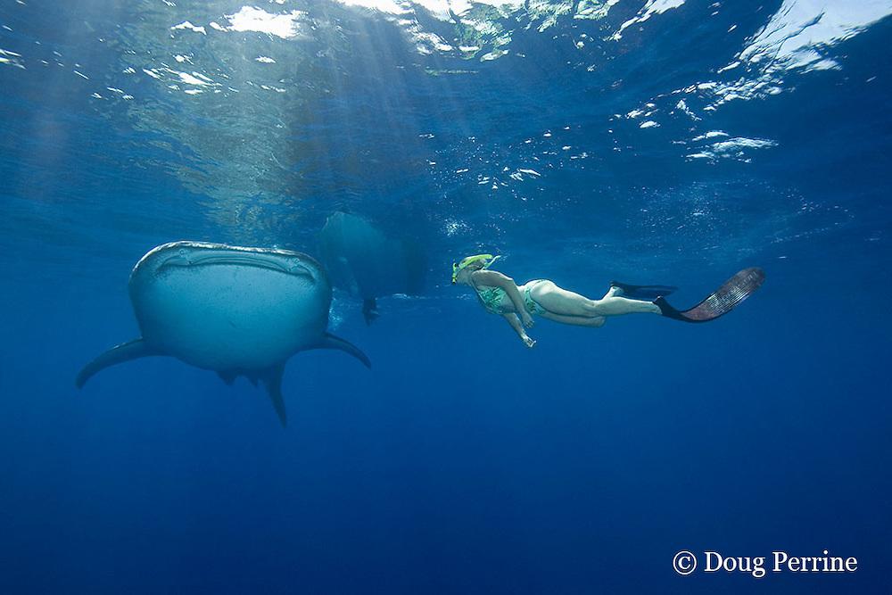 whale shark, Rhincodon typus, and snorkeler, Kona Coast, Hawaii Island ( the Big Island ), Hawaiian Islands, USA ( Central Pacific Ocean ) MR 360