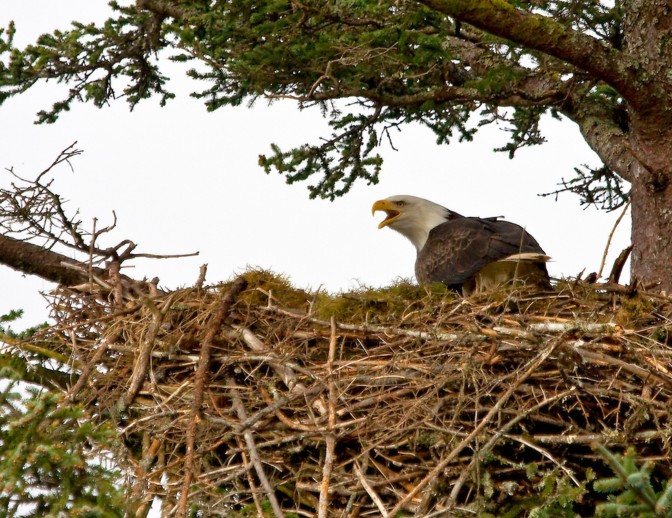 Alaska. Bald Eagle (Haliaeetus leucocephalus) warding off intruders at her nest, Spruce Island, Kodiak.