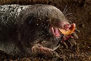 [captive] European Mole (Talpa europaea) has caught a beetle larvae (called wireworms) in its subterranean burrow. Kiel Germany | In seinem unterirdischen Gang hat ein Maulwurf (Talpa europaea) einen Drahtwurm erbeutet und verspeist ihn. Kiel, Germany