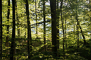 Forest surrounding the Biograd Lake in the Biogradska Gora National Park, Montenegro