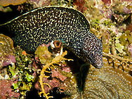 A spotted Moray eel carefully slips out of a crevice in the reef surrounding Roatan, Honduras.