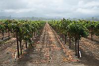 Starlite Vineyards Scenic Landscape, Geyserville, California