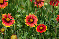 Indian Blankets growing in Bokeelia on Pine Island, Lee County, Fl. These are absolutely beautiful when seen in huge patches in the grass!