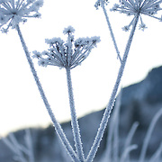 Noorwegen Gol 27 december 2008 20081227 Foto: David Rozing .Wintertafereel, ijs rijp op bloem .Wintertime, icy flower ..Foto: David Rozing
