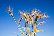 Ripe wheat stalks on a blue sky background