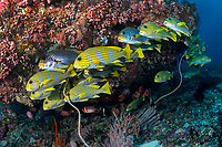 Sweetlips hold in the current near a cleaning station<br /> <br /> Shot in Indonesia