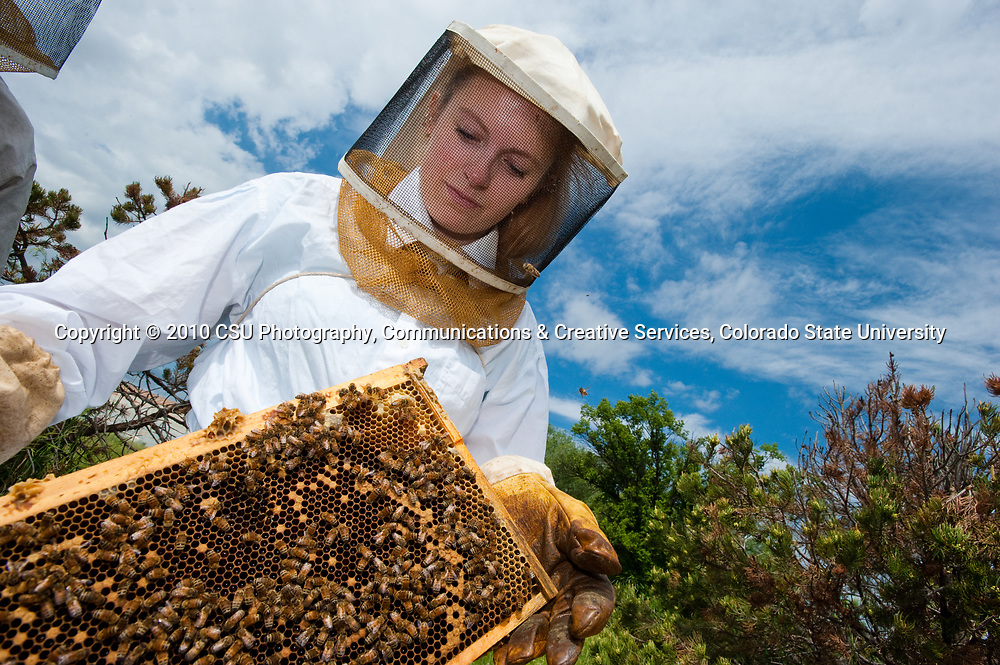 Colorado State University Biology and Foreign Languages student Amanda Stammer inspects a hive as she does research on social network theory with honeybees with professor Dhruba Naug.