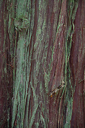 Mossy Bark on Western Red Cedar (Thuja plicata) Tree, Stuart Island, Washington, US