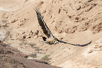 Eurasian Griffon Vulture, Gyps fulvus, on migation flying with wings outstretched against mountain background, Eilat Mountains, Israel.