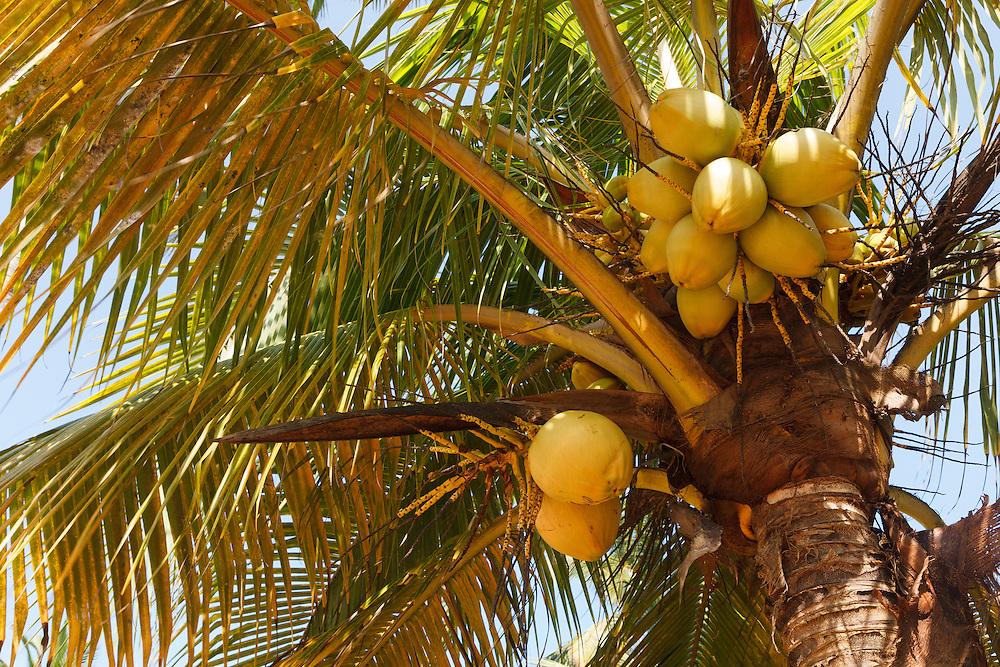 Coconut Tree in Ghana