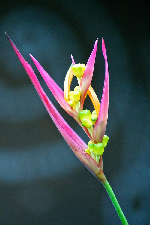 Heliconia psittacorum inflorescence, Campanario, Costa Rica floral, rain forest, Costa Rica