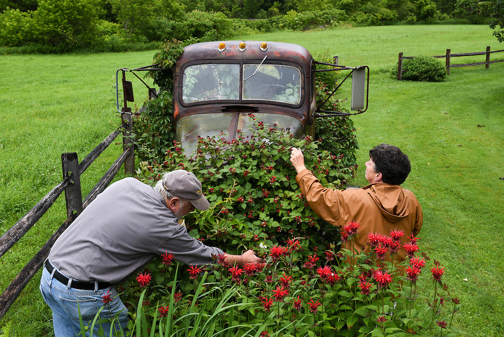 David and Carla Hodgdon pick black raspberries growing from a 1945 International truck outside their Bethel, Vt. home Tuesday, July 8, 2015. The berries started to grow up through the truck's frame after Tropical Storm Irene flooded the property in 2011. &quot;If anybody wanted to buy the truck they're going to have to bring in a crane and lift it straight up to not disturb my bushes,&quot; said Carla Hodgdon. (Valley News - James M. Patterson)<br /> Copyright &copy; Valley News. May not be reprinted or used online without permission. Send requests to permission@vnews.com.
