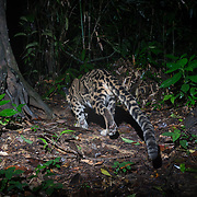 The clouded leopard (Neofelis nebulosa) is a wild cat occurring from the Himalayan foothills through mainland Southeast Asia into China.  Its worldwide population is suspected to be fewer than 10,000 mature individuals, with a decreasing population trend due to hunting and habitat destruction.