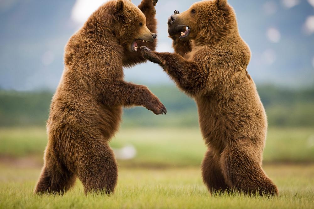 USA, Alaska, Katmai National Park, Brown Bears (Ursus arctos) sparring in meadow along Hallo Bay. Digital Composite.