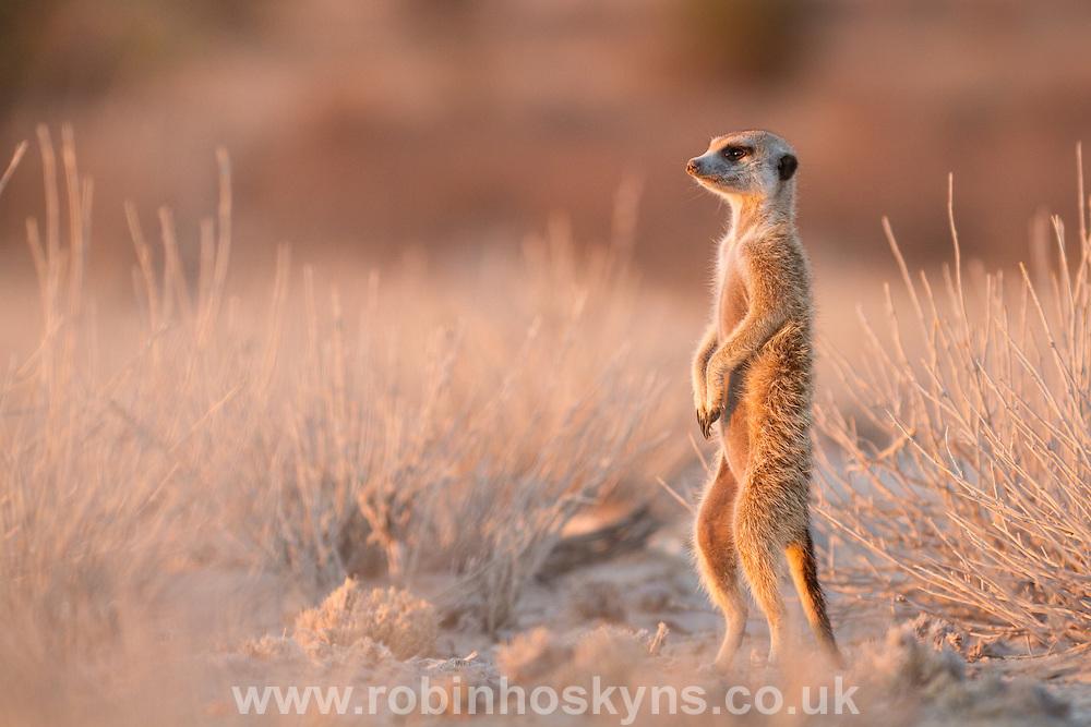 A Meerkat keeping vigilant in early morning light.