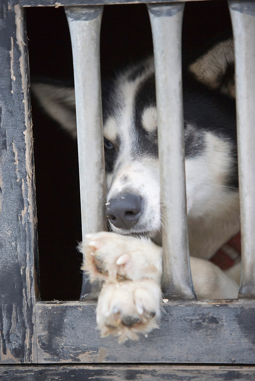 USA, Alaska, Anchorage, Dog rests in barred window of NWEL truck parked along 4th Avenue before start of 2005 Iditarod sled dog race