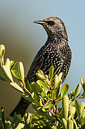 A european starling perches on the top of an ornamental bush, Redwood Shores, CA.