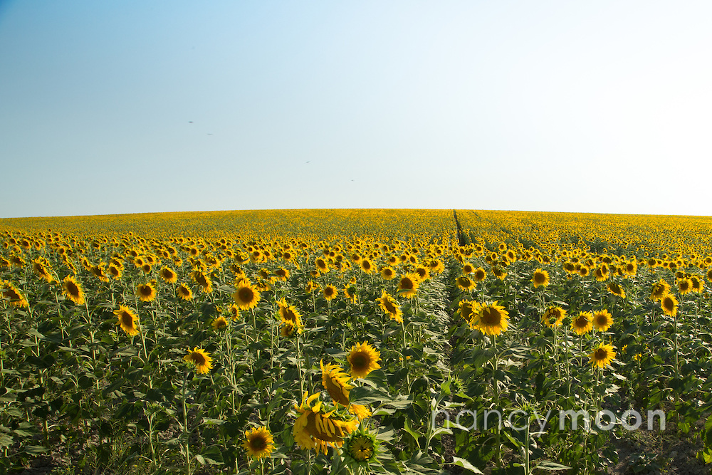 Sunflowers in El Coronil, near Sevilla Spain.<br />