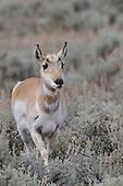 Wildlife: Antelope