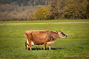 Organic Valley Jersey Cow in Monmouth, Oregon.