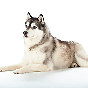 Powerful Husky dog lying down, alert and interested, on white background