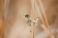 Marsh Wren sings from a cattail in a northern Utah marsh.