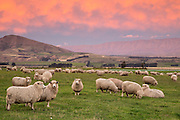 Woolly and fluffy clouds blanket the sky as a pink sunset descends over a paddock of sheep in Central Otago, New Zealand.