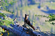 Marten in alpine larch talus slope ecosystem at 7000 feet elevation in the Northwest Peak Scenic Area in summer. Purcell Mountains in the Kootenai National Foprest, northwest Montana.
