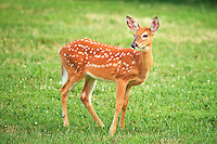 Inquisitive Fawn with Spots. Summer Backyard Nature in New Jersey. Image taken with a Nikon D4 and 500 mm f/4 VR lens (ISO 1600, 500 mm, f/4, 1/500 sec).