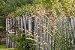 Pennisetum macrourum growing through fence
