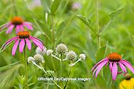 63863-02406 Purple Coneflower (Echinacea purpurea) & Rattlesnake Master (Eryngium yuccifolium)  Ballard Nature Center, IL