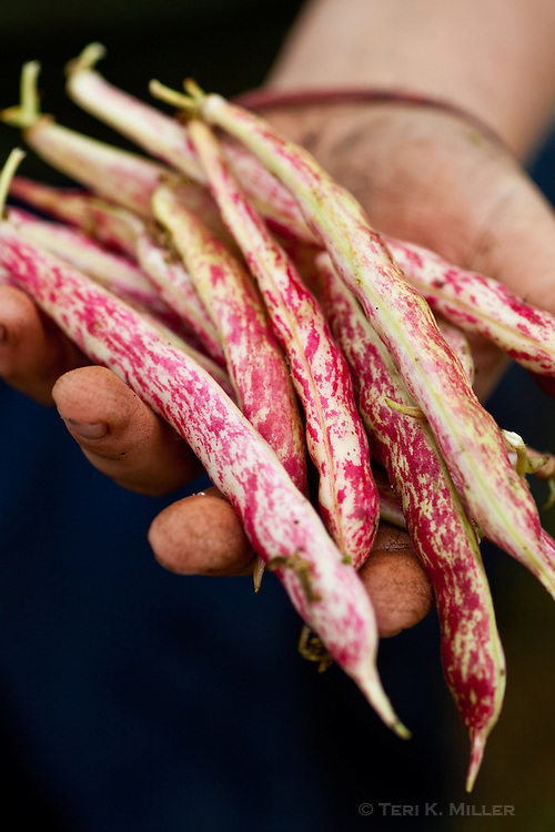 Freshly picked cranberry beans on Whidbey Island, Washington