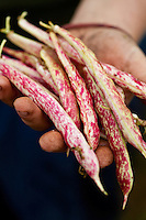 Freshly picked cranberry beans on Whidbey Island, Washington