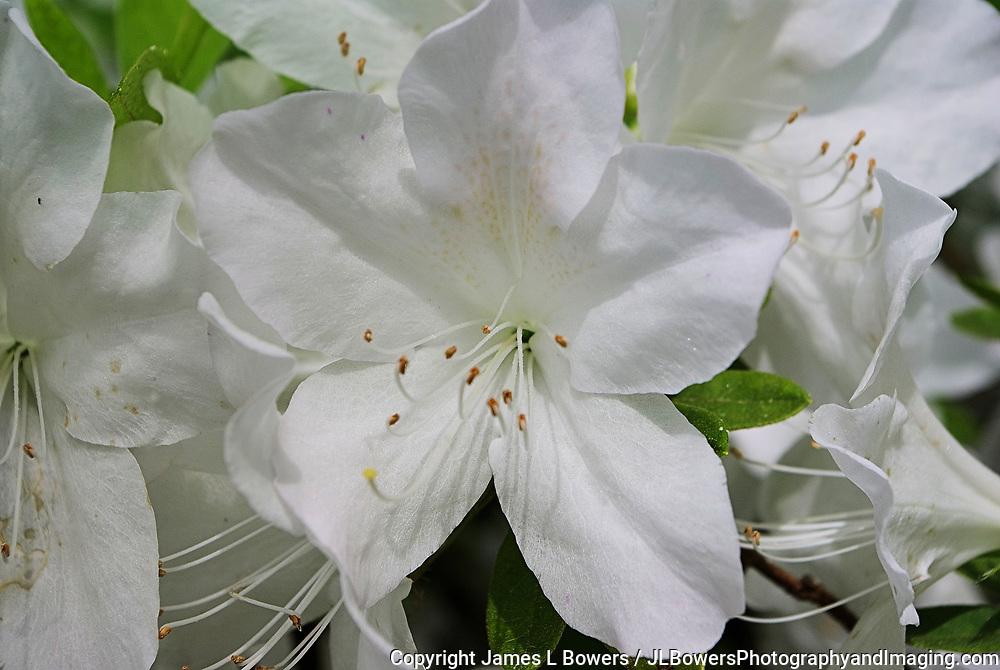 Azeleas white