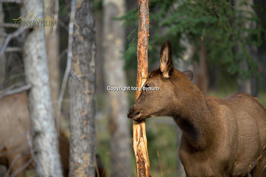 calf elk rubbing a fir tree