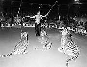 08.09.1984<br /> 09.08.1984.<br /> 8th September 1984.<br /> Chipperfield's circus performed before packed houses in Mullingar, Co Westmeath.<br /> Picture of Mr Richard Chipperfield, cracking the whip, as he leads his tigers through their routine.