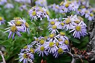 'Zvjezdan' flower,  Paklenica National Park, Velebit mountain range, Croatia.