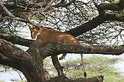 Africa, Tanzania, Serengeti National Park, Lioness Panthera leo on a tree
