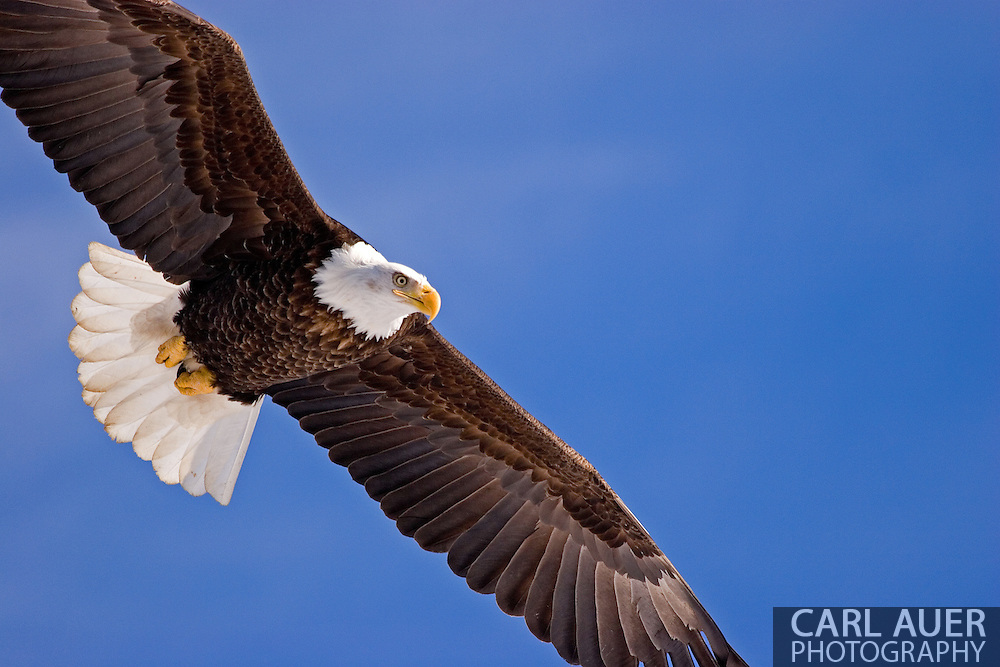 Eagle that winters in South Central Alaska just north of Anchorage