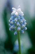 Muscari aucheri 'Mount Hood' - grape hyacinth